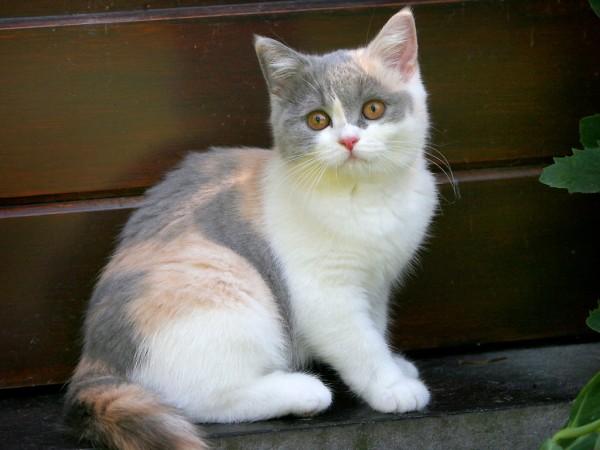 British Shorthair tricolore