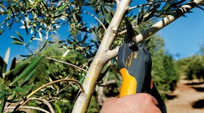 Secateur arboricole